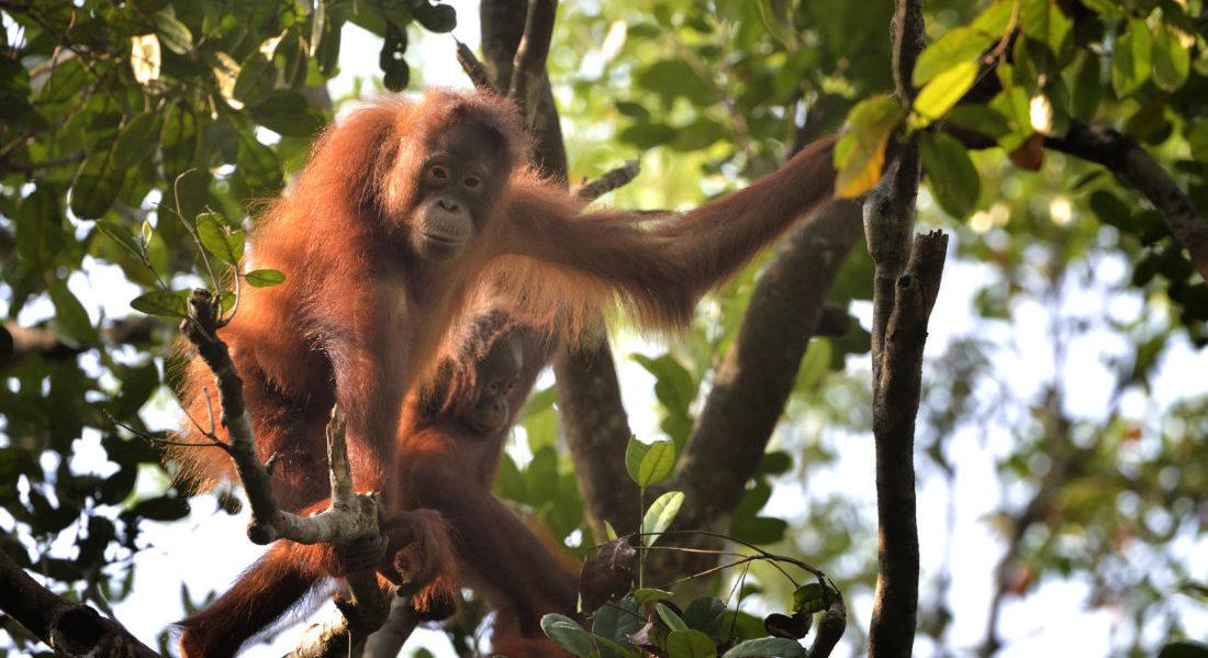 Rifugiati tra i rami di un grande albero nelle foreste del Kalimantan, alcuni Oranghi dominano il territorio sottostante